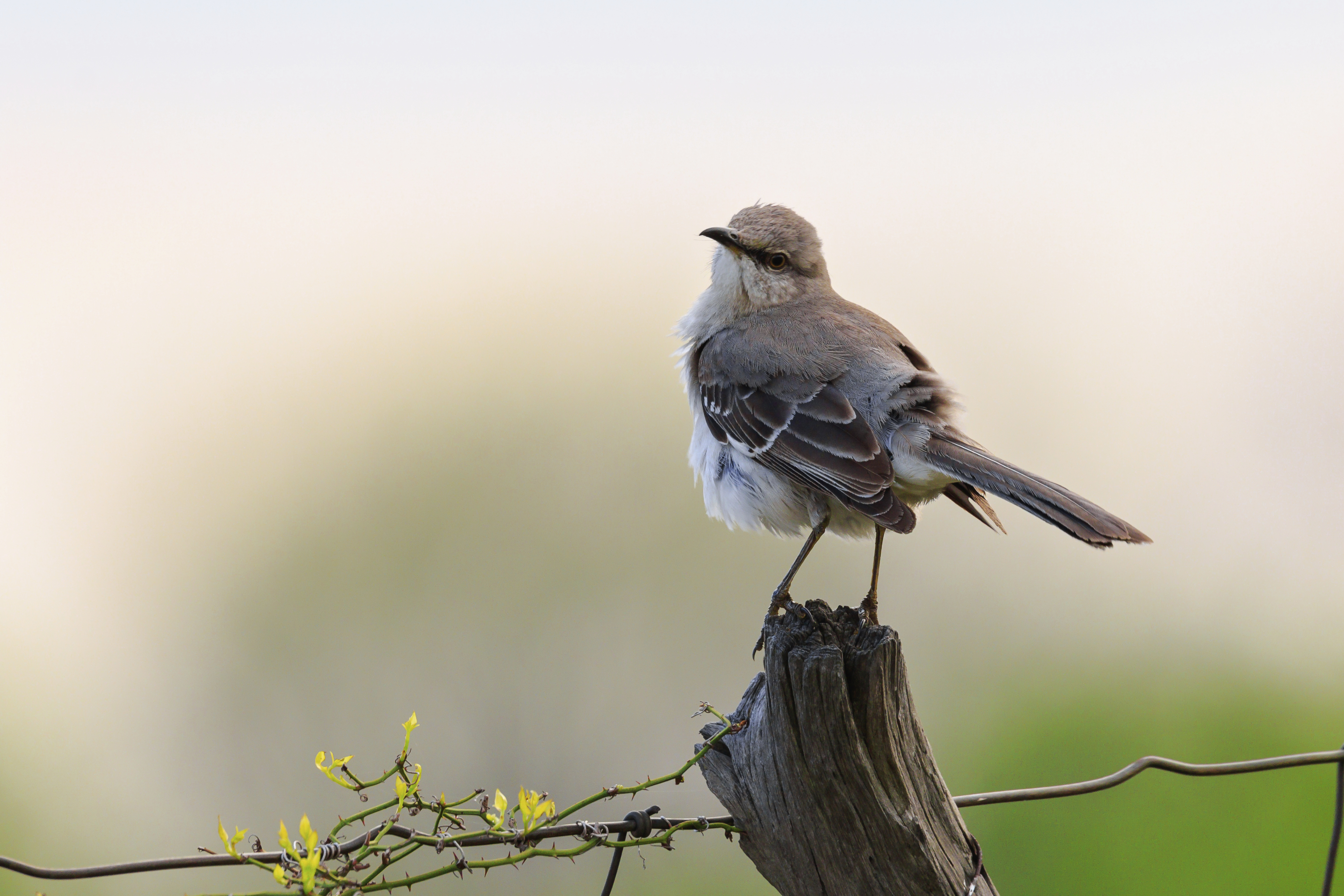 State birds tennessee secretary of state according to the nashville banner of april 16 1933 the mockingbird mimus polyglottos was selected on april 11 1933 as the state bird of tennessee in an buycottarizona Images